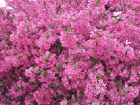 flowering crab apple trees delivered to home or work site