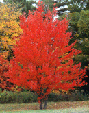 red maple trees delivered to your door or construction site